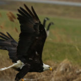 Eagle Soars in Darien