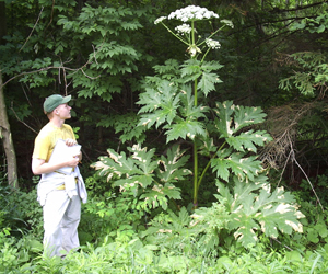 Giant Hogweed-Do Not Touch!