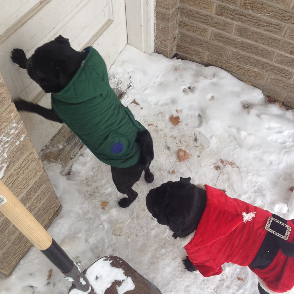"Pugs Not ""Snow Dogs"""