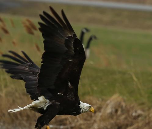 Eagle Soars in Darien